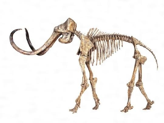 マンモスゾウの骨格[百科マルチメディア]