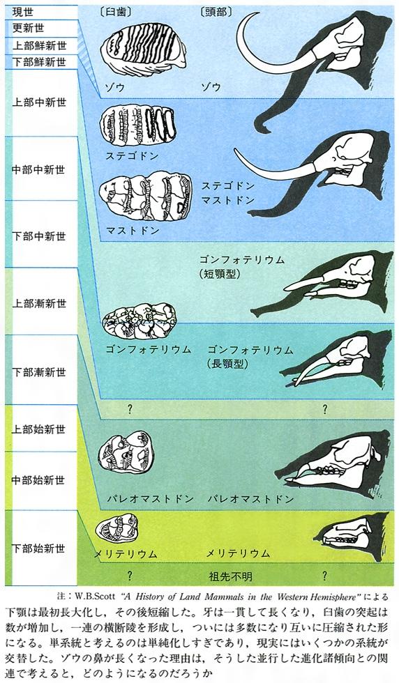 ゾウの進化的諸傾向〔図D〕[百科マルチメディア]
