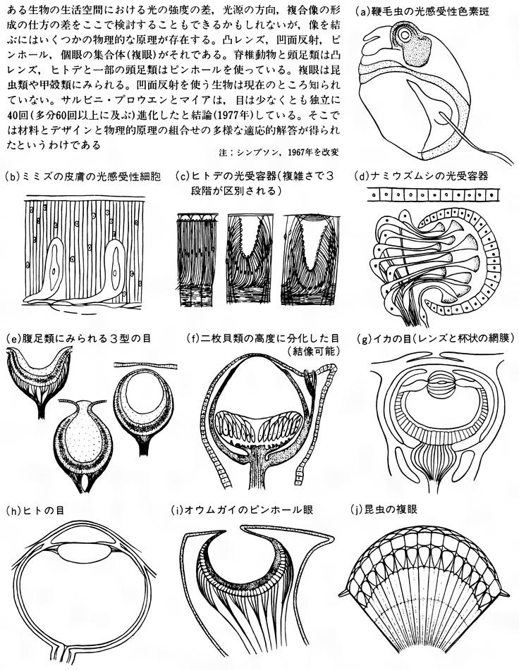 目(光受容器)の進化に関する多数の適応例〔図H〕[百科マルチメディア]