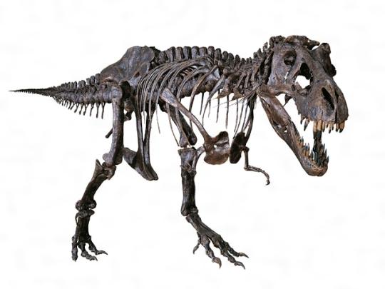 ティラノサウルスの骨格[百科マルチメディア]]